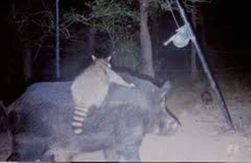 racoon-riding-hog links
