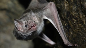 vampire-bat-hanging