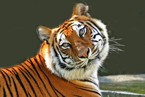Beautiful-Tiger1
