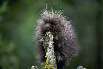 baby porcupine links