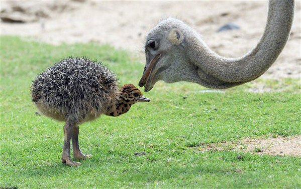 baby_ostrich