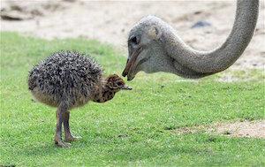 baby_ostrich_300