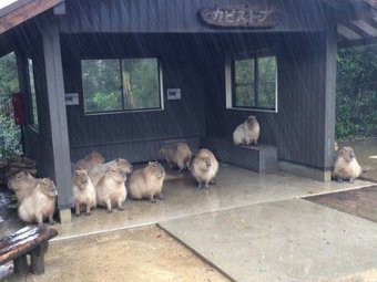 capybaras in rain links