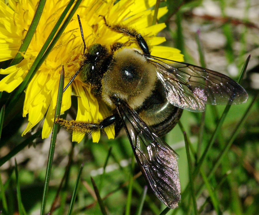 carpenter bee links