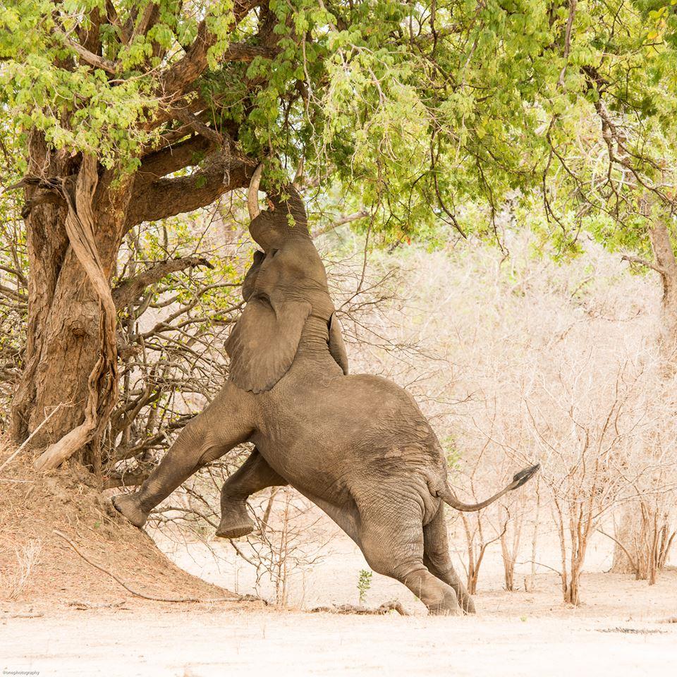 elephant tree links