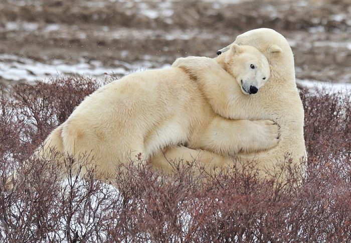 hugging polar bears links