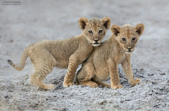 lion cubs links