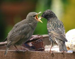 starlings_300