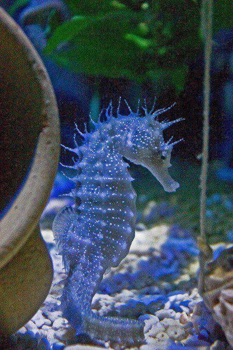 seahorse links