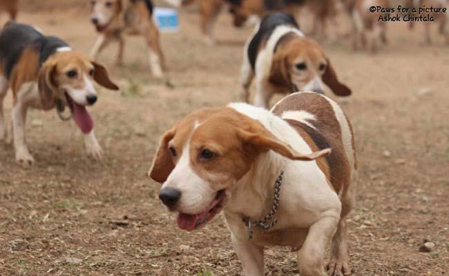 Beagles links