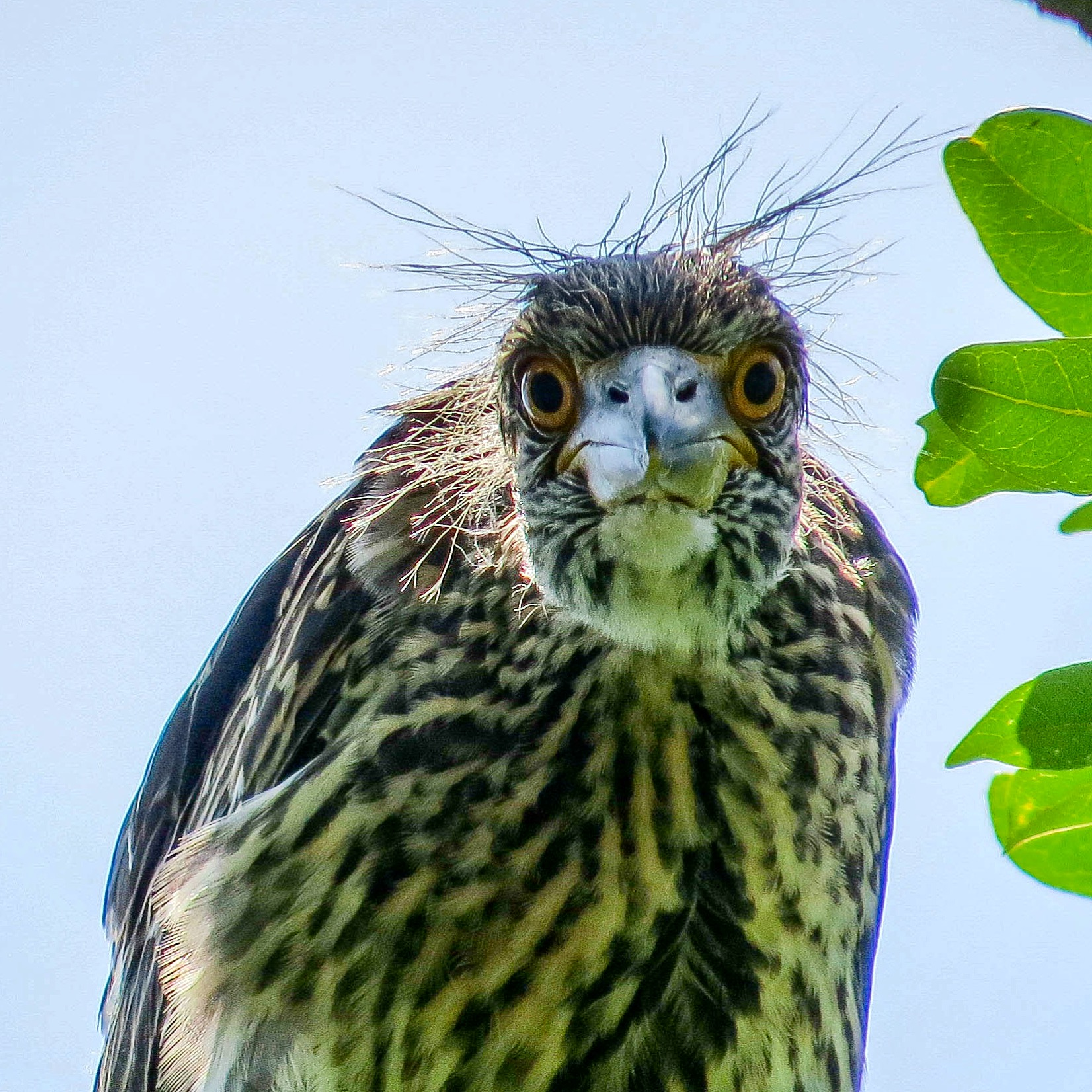 Juvenile yellow-crowned night heron links