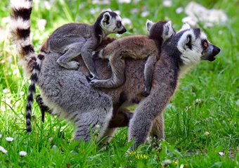 lemurs riding links