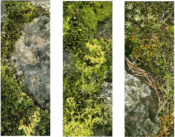 lichen-trytych