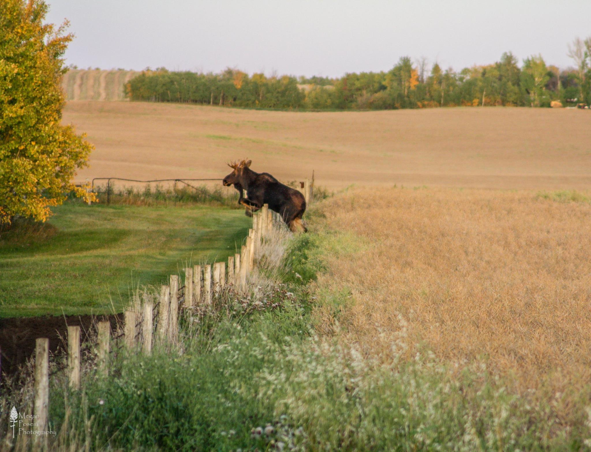 moose links