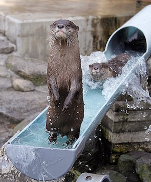 otters_300