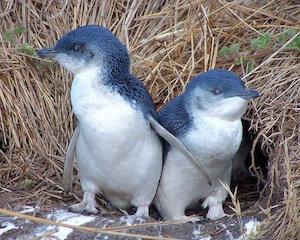 penguin_300