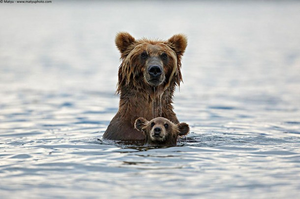 bears in water links