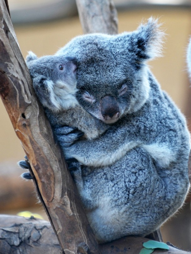 koalas links