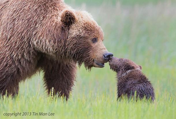 bear and cub links