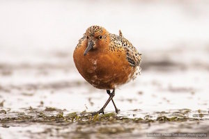 red_knot_300