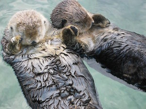sea_otters_300