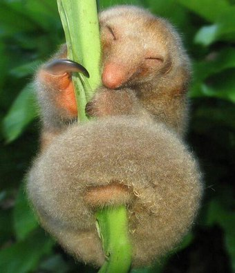 silky anteater links