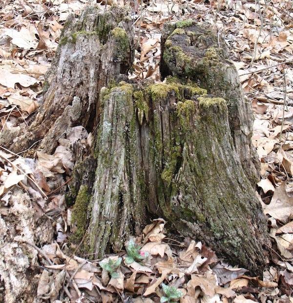 yard_stump