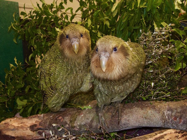 kakapo_chicks