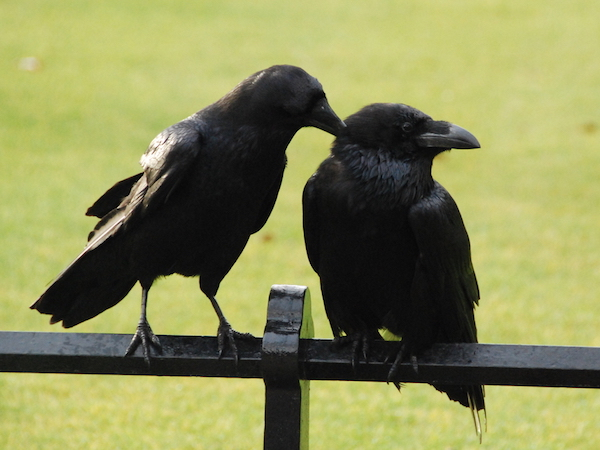 ravens_tower_london