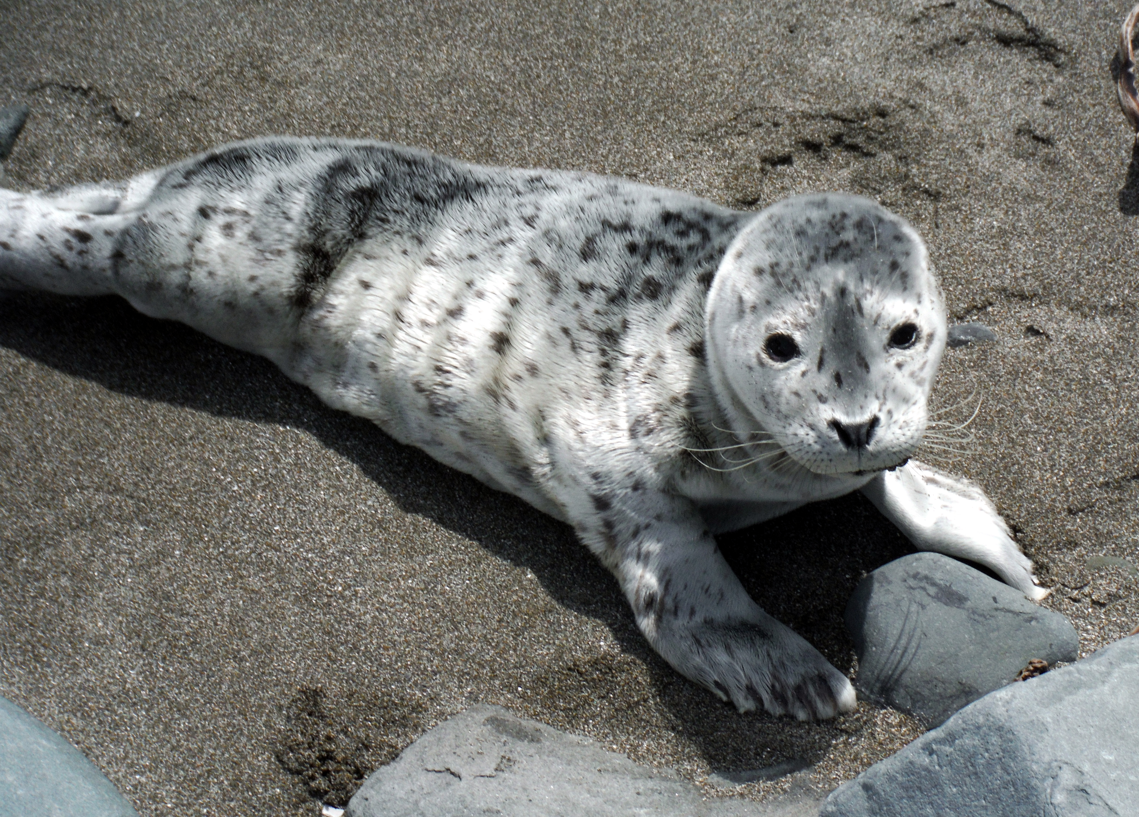 seal pup links