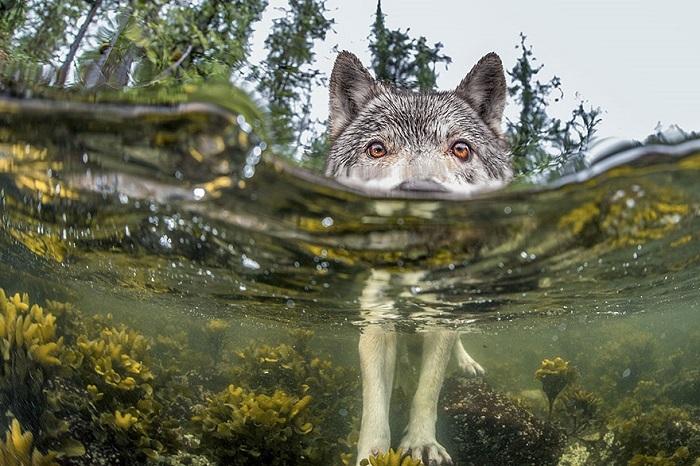 wolf links