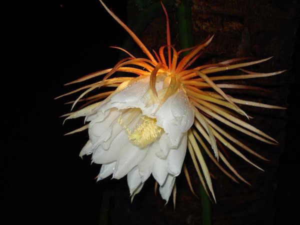 Snake-plant-flower-in-full-