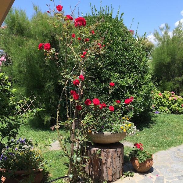 am_roses