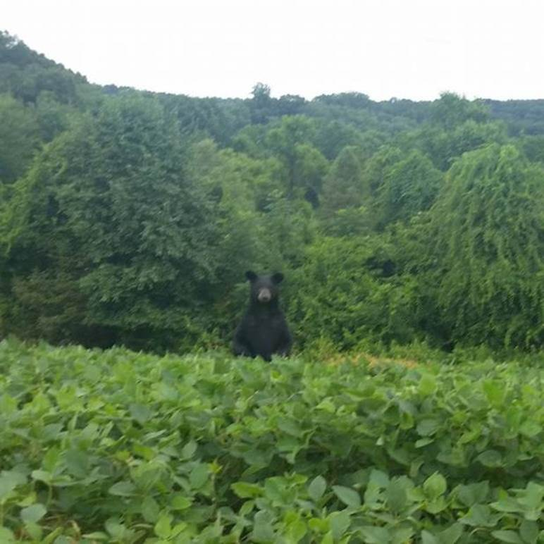 bear links