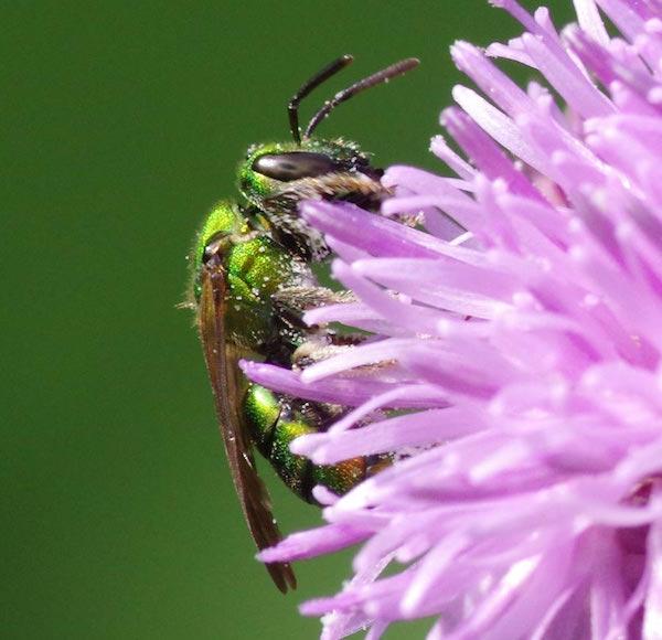 green_bee