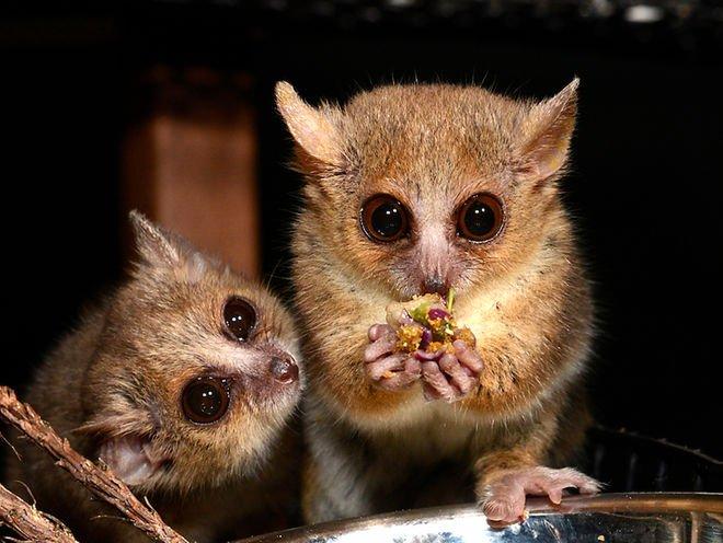 mouse lemurs