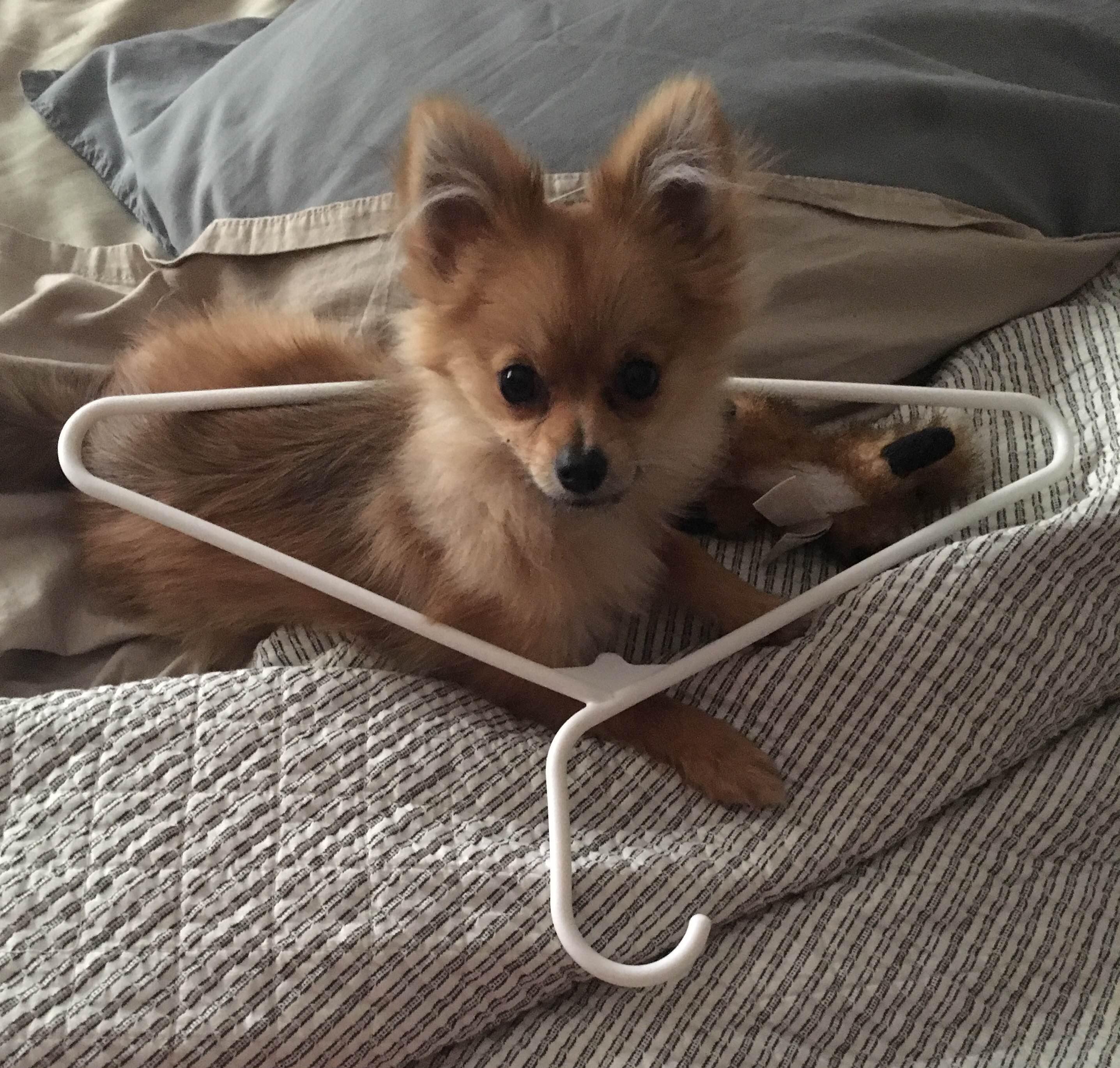 pomeranian puppy links