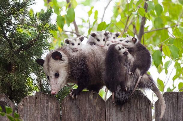 opossum links