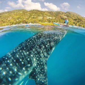 whale_shark_300