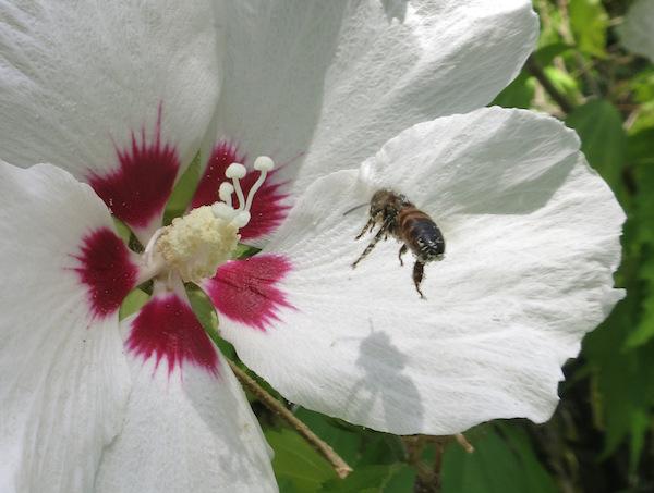 Hibiscus-Bee-2