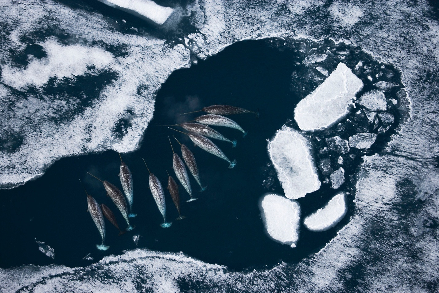 Narwhals in Sea Ice links