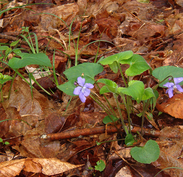 Woodland violet Upstate NY