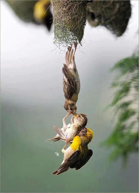 baby bird rescue links