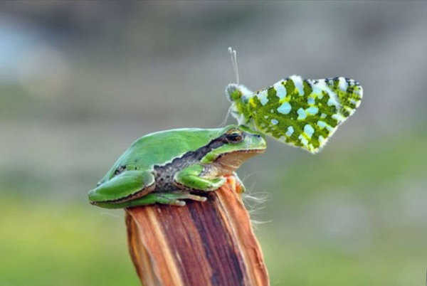 butterfly_frog