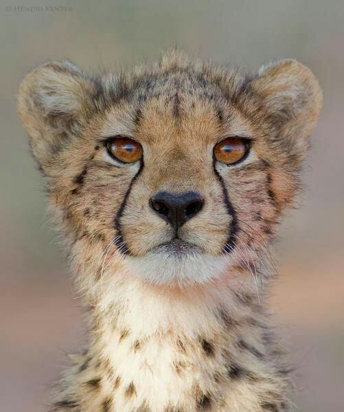 cheetah cub links