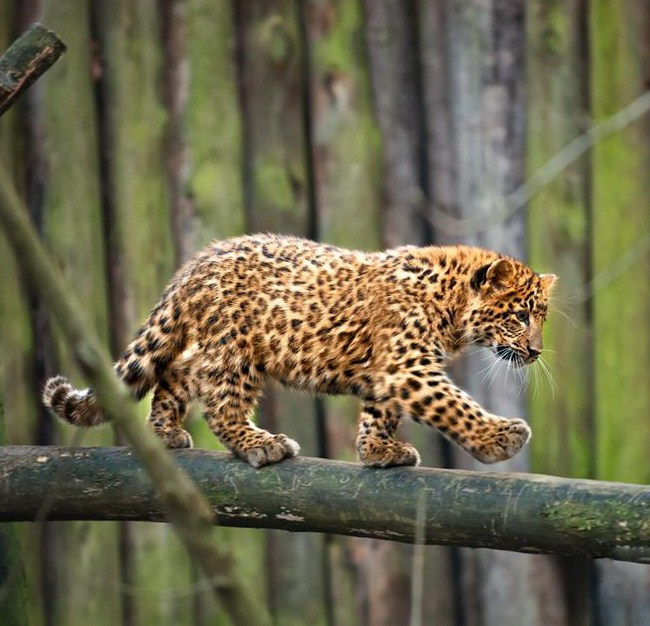 cute leopard cub links