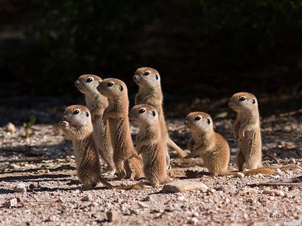 prairie_dogs