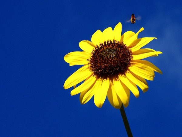 sunflower bee 2
