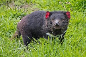 tasmanian_devil_300