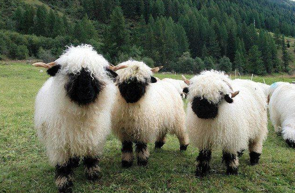 valais_sheep
